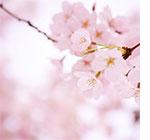 横浜市内のお花見特集